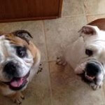 bulldogs pet sitting