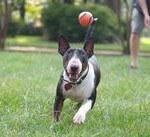 dog playing ball with dog walker