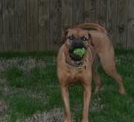 dog playing ball with pet sitter