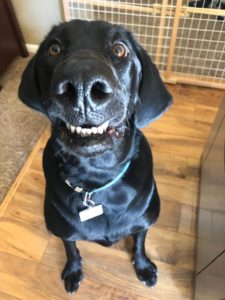 This image has an empty alt attribute; its file name is black-dog-smiling-225x300.jpg