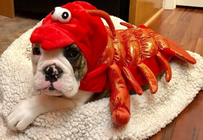 Bull dog dressed as lobster