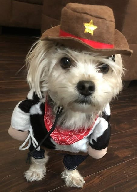 dog walking dressed as cowboy