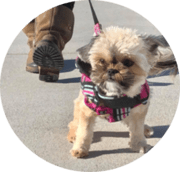 small dog walking with harness